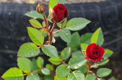 Röda ro i trädgården Arkivbild
