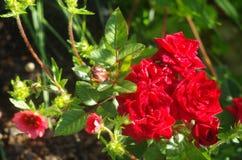 Röda ro i trädgården Fotografering för Bildbyråer