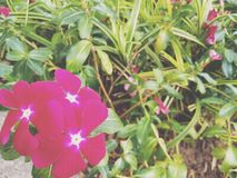 Röda ro i trädgården Royaltyfria Foton