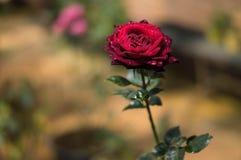 Röda ro i trädgården arkivbilder