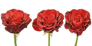 röda ro tre Royaltyfria Bilder