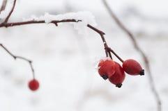 Röda ros-höft bär som täckas med insnöat en kall vinterdag Arkivbilder