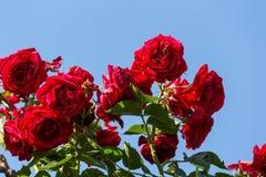 Röda rosa buske arkivfoto