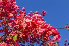 Röda rosa färgblommor för vår Royaltyfri Fotografi