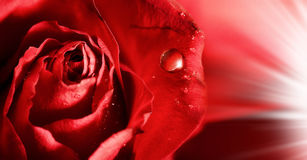 Röda rosa petals med bevattnar liten droppe Arkivbilder