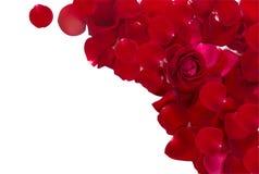Röda rosa petals Arkivfoton