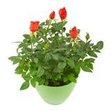 Röda rosblommor i en plast- kruka Royaltyfria Bilder