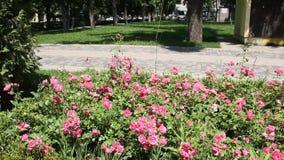 Röda rosbuskar stock video
