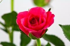 Röda Rose Royaltyfri Bild