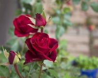 Röda Rose Blooming i en trädgård Fotografering för Bildbyråer