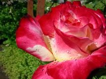 Röda Rose Dew Drops Sparkle royaltyfri bild