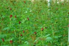 Röda Rose Field Royaltyfri Foto