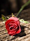 Röda Rose Flower Arkivfoto