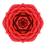 Röda Rose Mandala Flower Kaleidoscopic Isolated på vit Royaltyfri Fotografi
