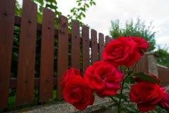 Röda Rose Next till ett staket Royaltyfria Foton
