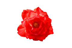 Röda Rose på den vita bakgrunden Arkivfoton