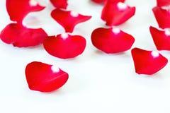 Röda Rose Petals i vit bakgrund royaltyfria foton