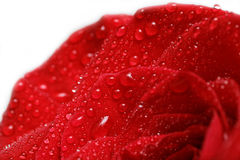 Röda roskronblad med droppar av dagg som isoleras på vit Royaltyfri Foto