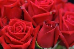 Röda rosor är i blom och blom fullständigt Arkivbild