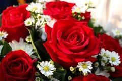 Röda rosor Arkivfoton