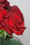 Röda rosor Royaltyfria Bilder