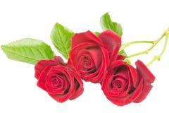 Röda rosor 3 Fotografering för Bildbyråer