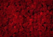 Röda rosor Arkivbilder