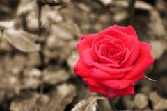 Röda rosor - blommor Royaltyfri Foto