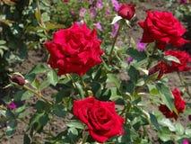 Röda ROSOR - DROTTNING av TRÄDGÅRDEN Royaltyfri Foto
