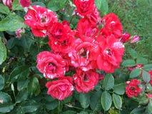 Röda rosor efter sommarregn royaltyfria bilder