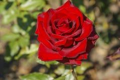 Röda rosor för knopp Arkivbilder
