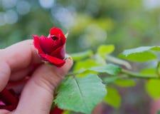 Röda rosor för Rosebud Arkivfoton