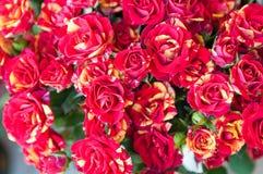 Röda rosor för tiger royaltyfri bild