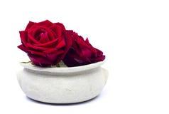 Röda rosor i en kruka på vit bakgrund Arkivbild