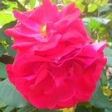 Röda rosor ingen fliter royaltyfria foton