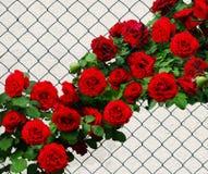 Röda rosor längs trådstaketet Rose Climber Don Juan arkivfoton