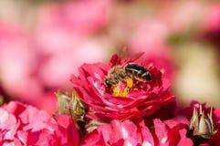 Röda rosor med biet en grön buske i trädgård arkivfoto