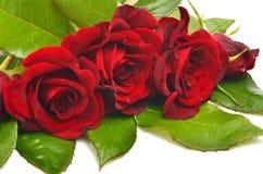 Röda rosor med gröna sidor Royaltyfri Fotografi