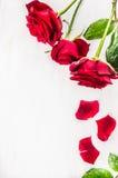 Röda rosor med kronblad på vit träbakgrund, bästa sikt tillgänglig vektor för valentiner för kortdagmapp Arkivfoto