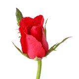 Röda rosor med vattendroppe arkivfoton