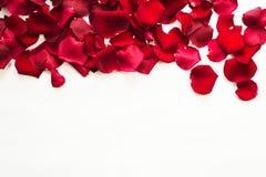 Röda rosor och rosa kronblad som isoleras på vit Arkivbilder