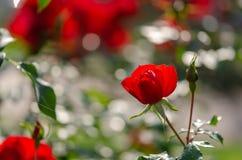 Röda rosor på en buske i rosträdgård arkivbilder