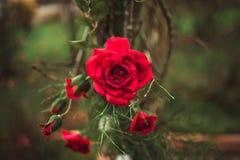 Röda rosor på en buske i en trädgård royaltyfri foto