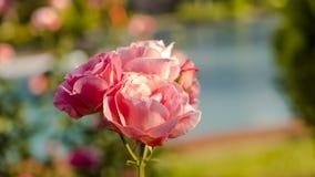 Röda rosor på en buske i en trädgård fotografering för bildbyråer