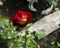 Röda rosor på en buske i en trädgård arkivbild