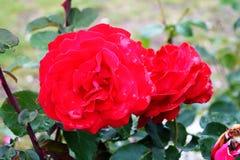 Röda rosor på en buske i en trädgård Ryssland arkivbild