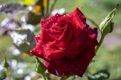 Röda rosor på en buske i en trädgård Ryssland fotografering för bildbyråer