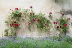 Röda rosor på en vägg Royaltyfri Bild