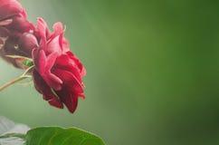 Röda rosor på grön suddig bakgrund - abstrakt begrepp arkivfoto