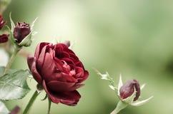 Röda rosor på oskarp grön bakgrund royaltyfria bilder